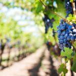 A szőlőmagliszt pozitív hatásai